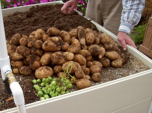 raisedbed.russetpotatoes