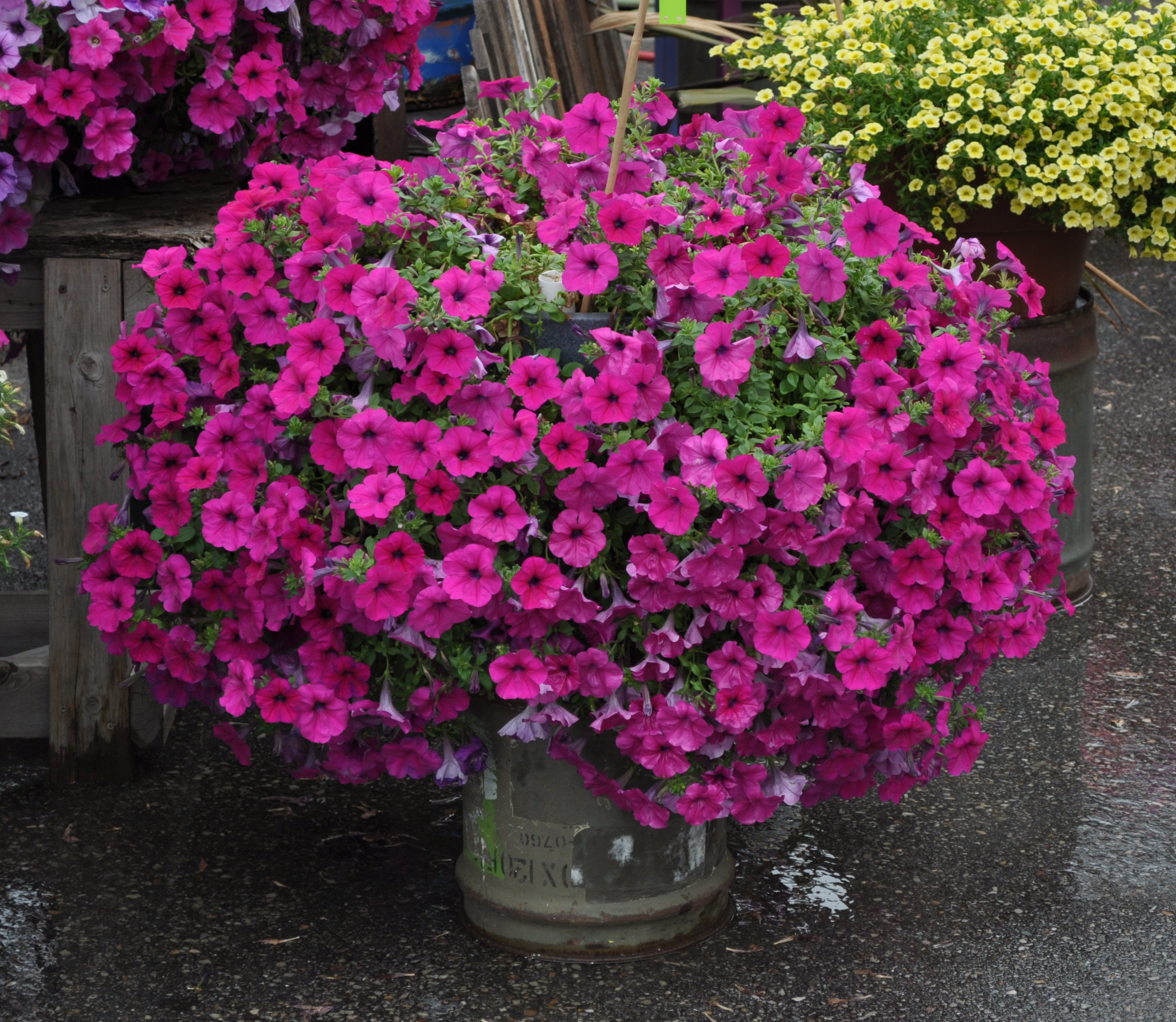 Gallery for purple wave petunia - Wave petunias in containers ...