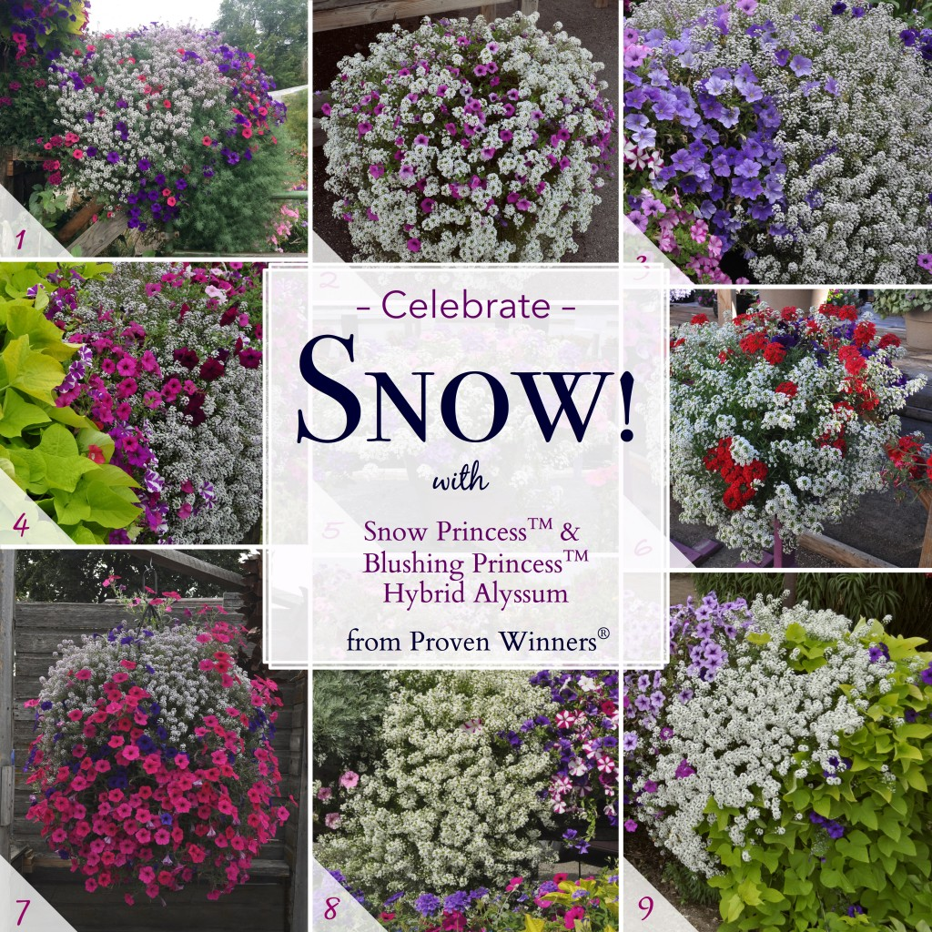 Snow Princess & Blushing Princess Hybrid Alyssum from Proven Winners.