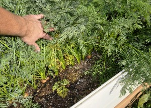 raisedbed.carrots2