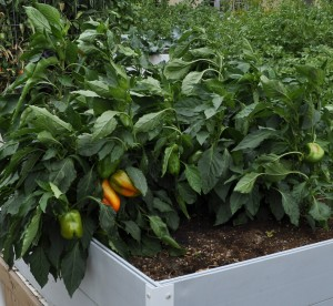 raisedbed.greenpeppers